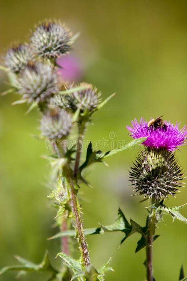 Blooming plant spines with a purple flower with a bumblebee and a blurred green background. royalty free stock photos