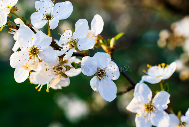 Blooming plum against green grasses.  stock image