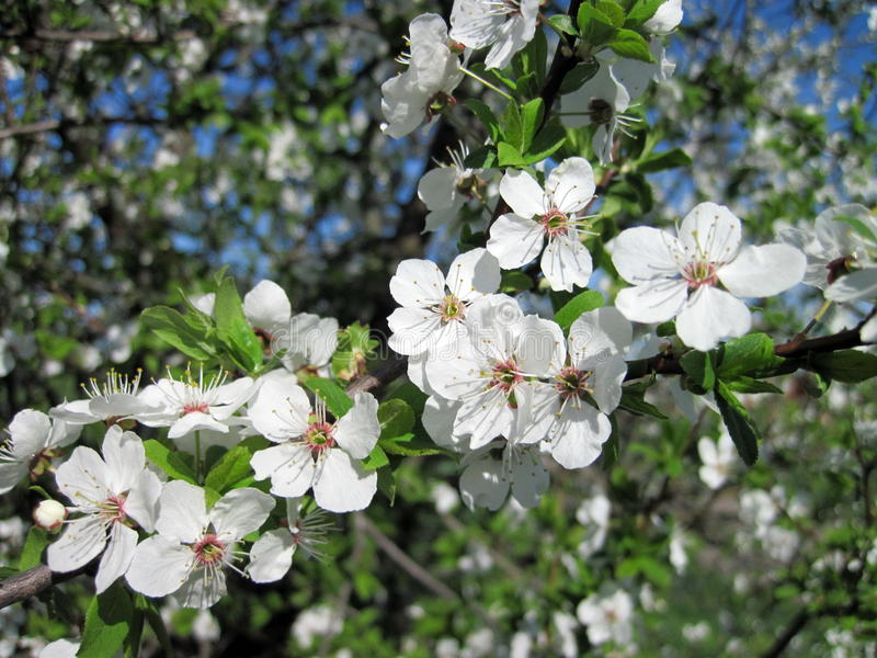 Blooming plum tree stock photo
