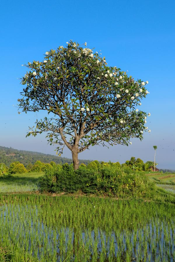 Blooming Plumeria tree with white and yellow flowers in paddy fields. Frangipani rises above fields with young rice seedlings. royalty free stock photo