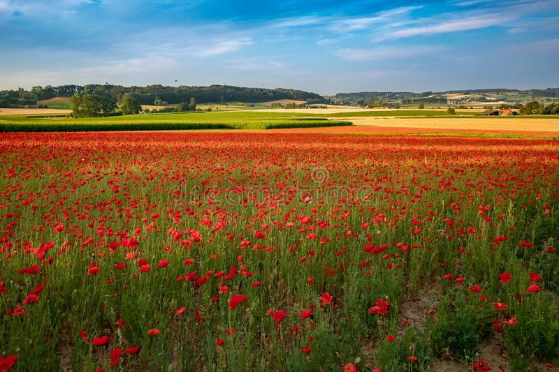 Blooming poppies in flanders fields stock image