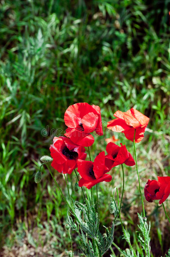 Download Blooming poppies stock image. Image of colorful, fragrance - 39501165