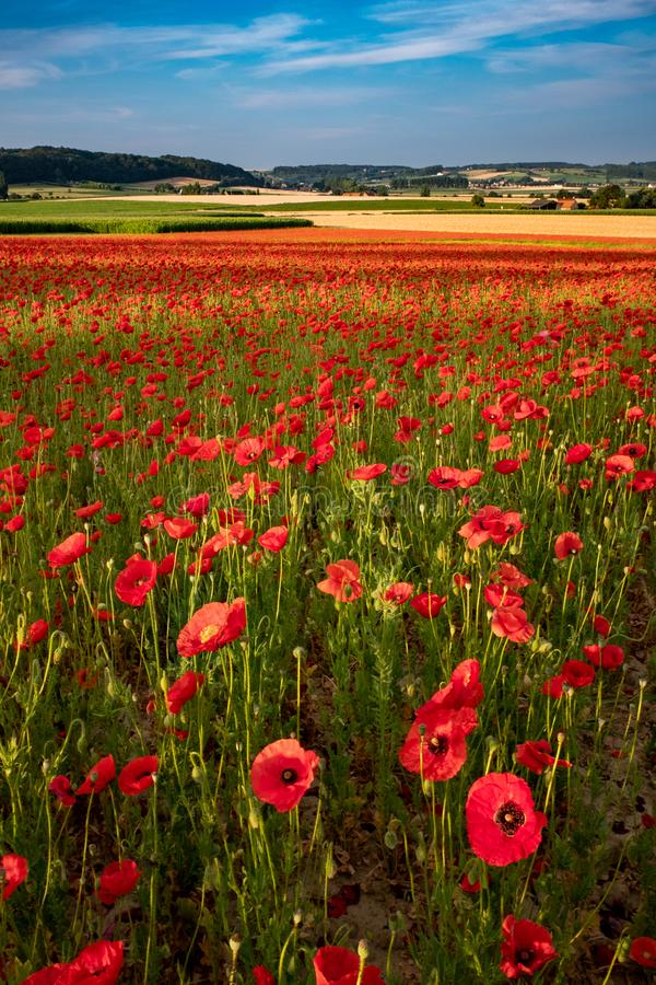 Blooming poppies in a meadow stock images