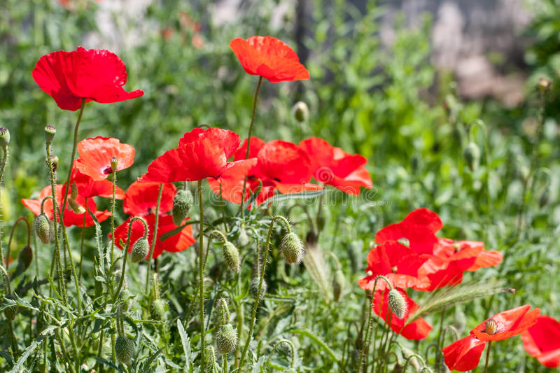 Blooming poppies in summer field as background stock images