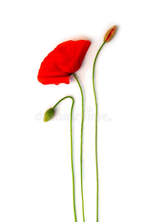 A blooming poppy and 2 buds arranged on white, isolated. A blooming poppy and 2 buds arranged and isolated on white, isolated stock illustration