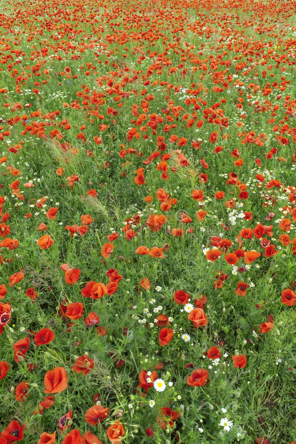 The blooming poppy`s field in summer time stock photo
