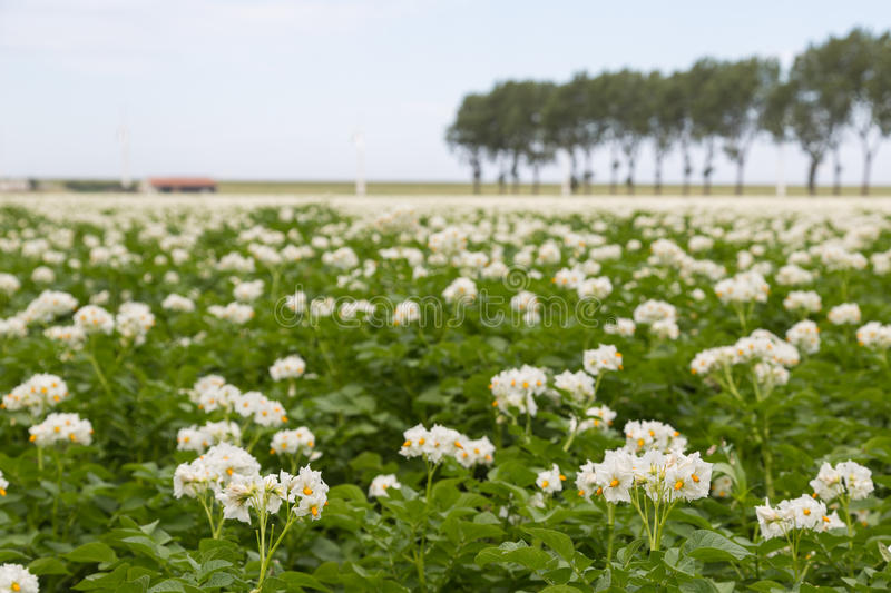 Download Blooming Potato Field In The Netherlands Stock Photo - Image: 25681090