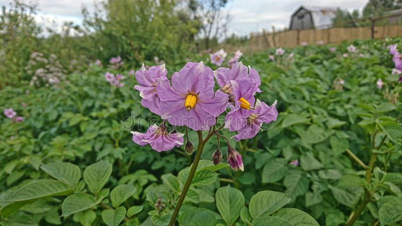 Blooming potatoes in the garden. Mobile photo royalty free stock images