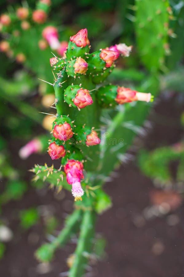 Blooming prickly pear cactus, opuntia, ficus indica. Blooming prickly pear cactus. Succulent, opuntia, ficus indica, Indian fig opuntia with pink flowers stock photos