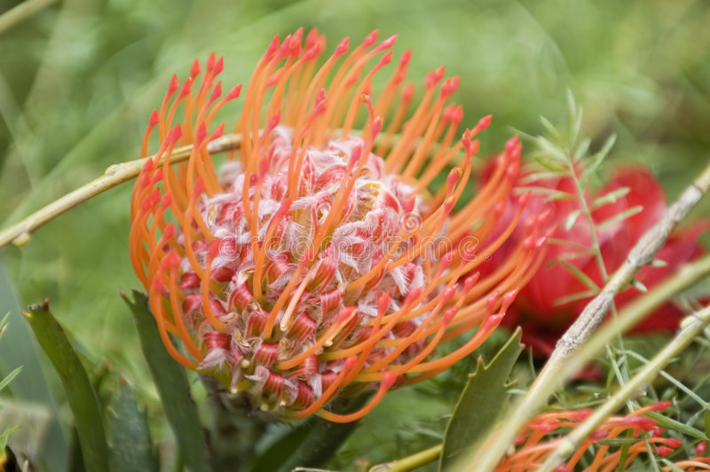 Blooming protea pincushion stock photo