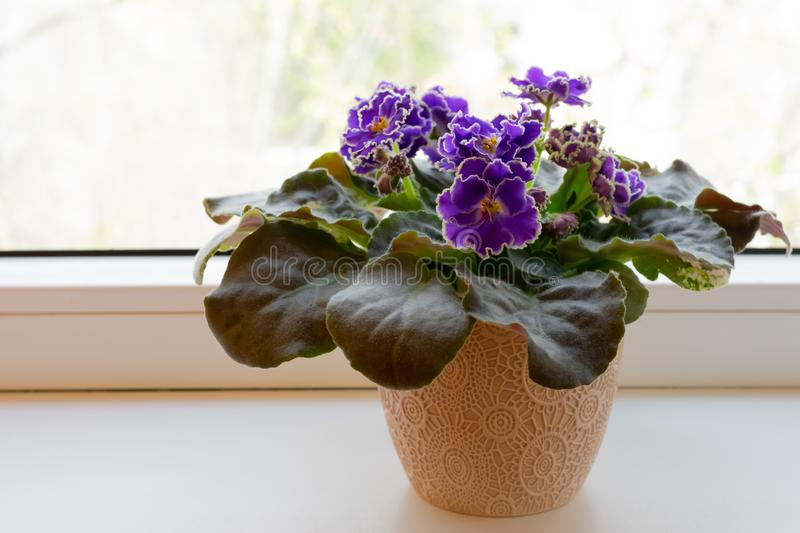 Blooming purple African violet flower on windowsill. Cozy home decor stock photography