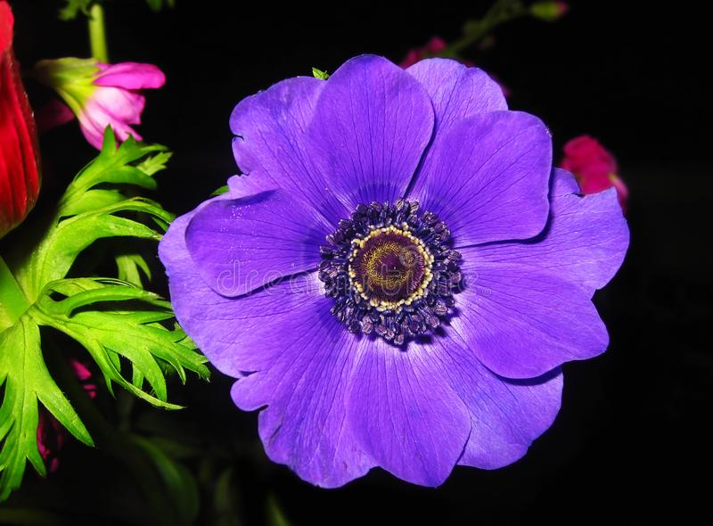 Blooming purple anemone flower with big purple petals - spring flowers stock photography