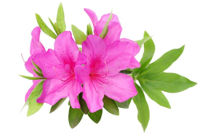 Blooming purple azalea flower stock photo