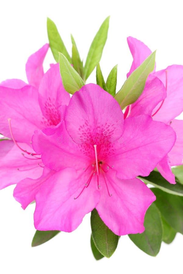 Blooming purple azalea flower royalty free stock photo