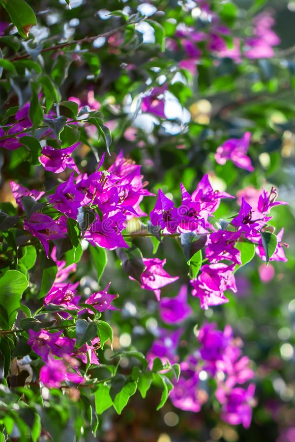 Blooming Purple Bougainvillea, Green Leaves, trees in the background, Bougainvillea spectabilis grows as a woody vine. Close-up photo stock image
