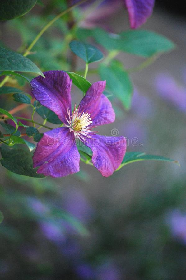 Purple Clematis Vine blooms in the Summer Garden. Blooming Purple Clematis a beautiful summer blooming perennial vine royalty free stock photo