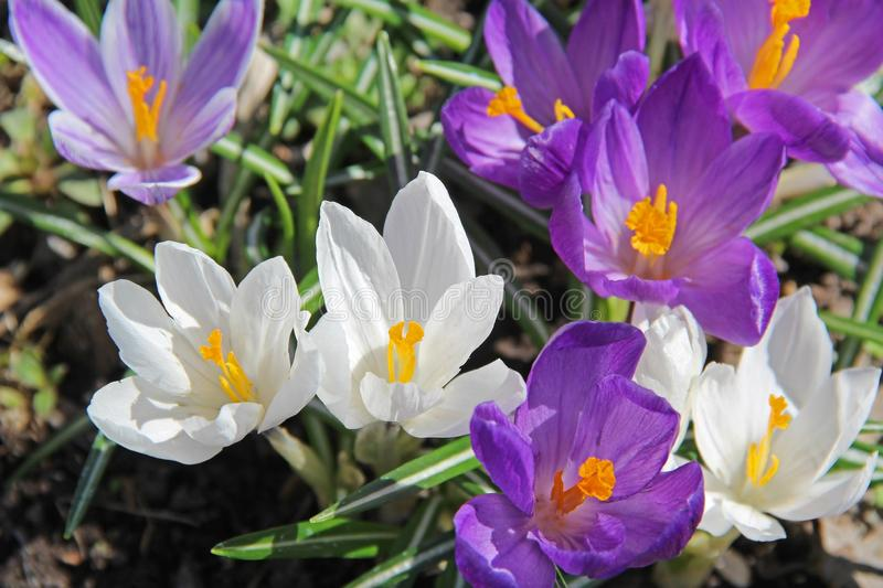 Blooming purple crocus flowers in the early spring stock photography