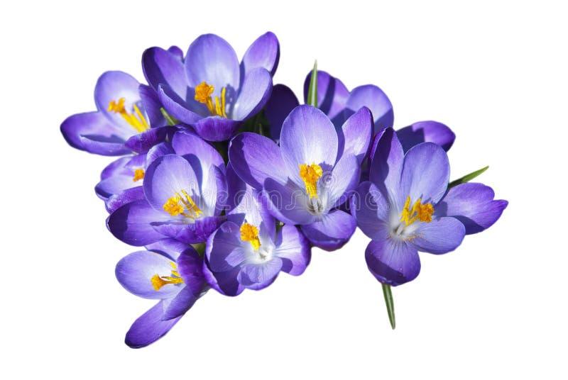 Crocus Flowers stock photography