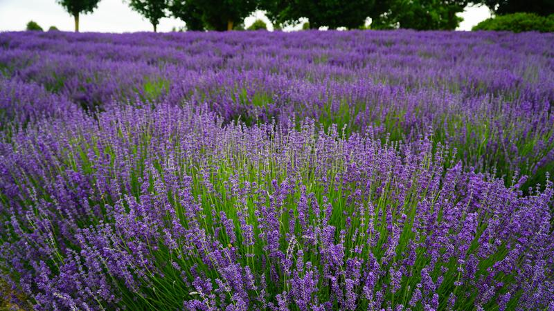 Blooming purple lavender plant in Lavender farm, New Zealand. Beautiful blooming purple lavender plant in Lavender farm, New Zealand royalty free stock photography