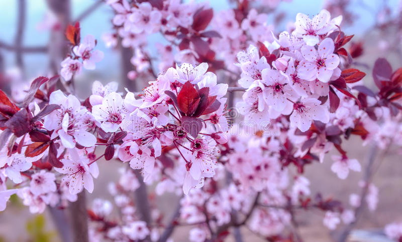 Blooming purple leafed plum. stock image