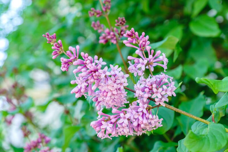 Blooming purple lilac. Spring vibes.  royalty free stock images
