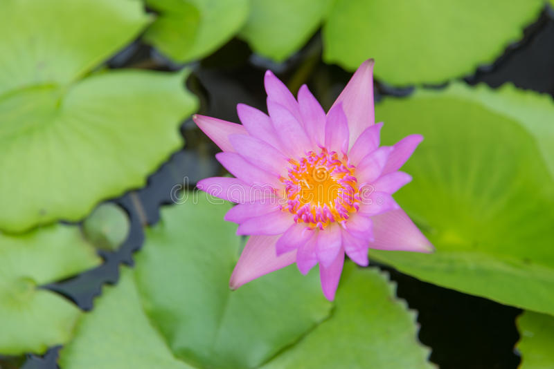 Blooming purple lotus flower. Lily water royalty free stock images