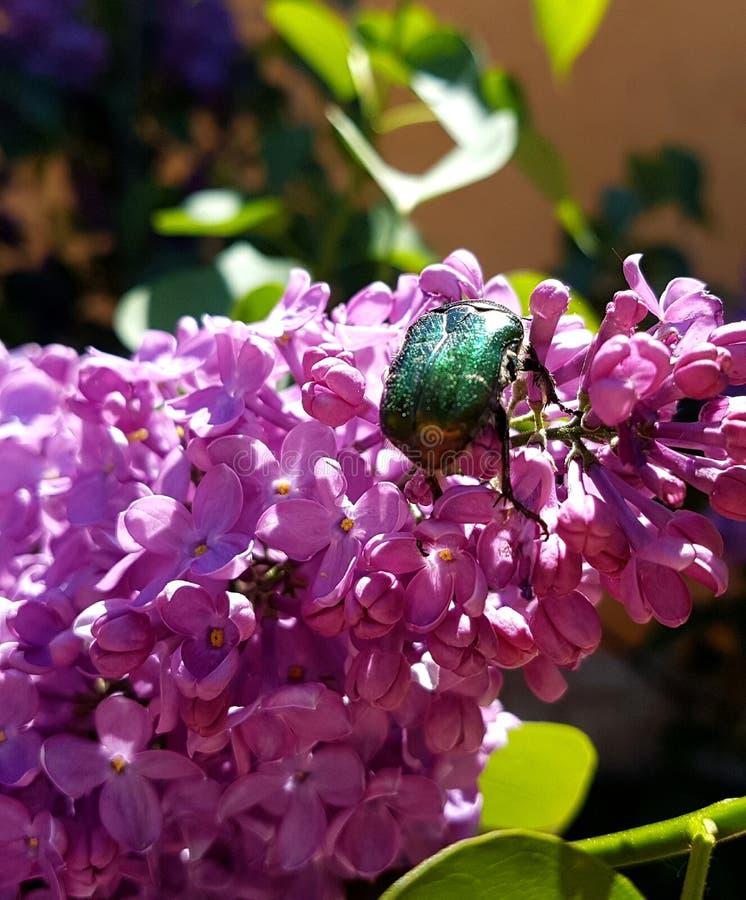 Organ flower. Blooming purple organ and beetle royalty free stock photography
