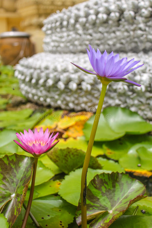 Blooming purple pink lotus. In the pool stock photo