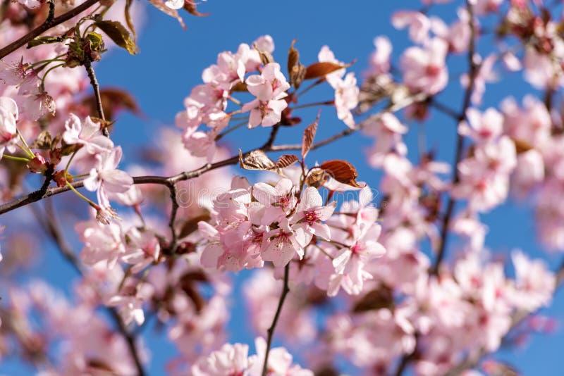 Blooming Purple Red Sakura Tree Garden in Spring. Blurry Backgr stock image
