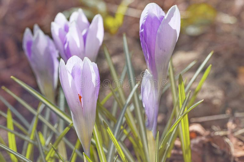 Blooming purple violet first spring crocuses flower stock photos