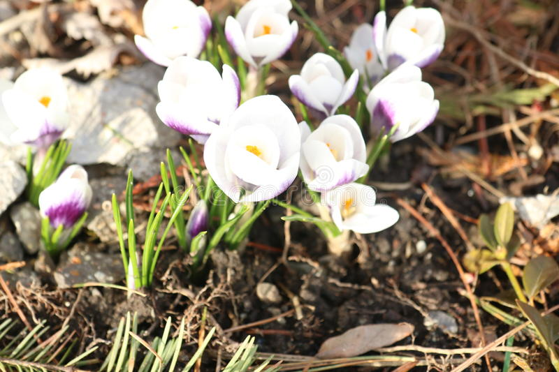 Blooming Purple and White Spring Flowers royalty free stock photography