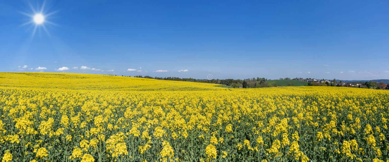 Blooming rapeseed field in hilly landscape - panorama royalty free stock image