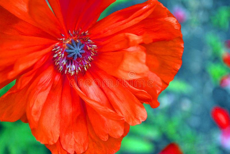 Blooming red-coral poppy, close-up detail, soft blurry green grass and grey soil background bokeh royalty free stock photography