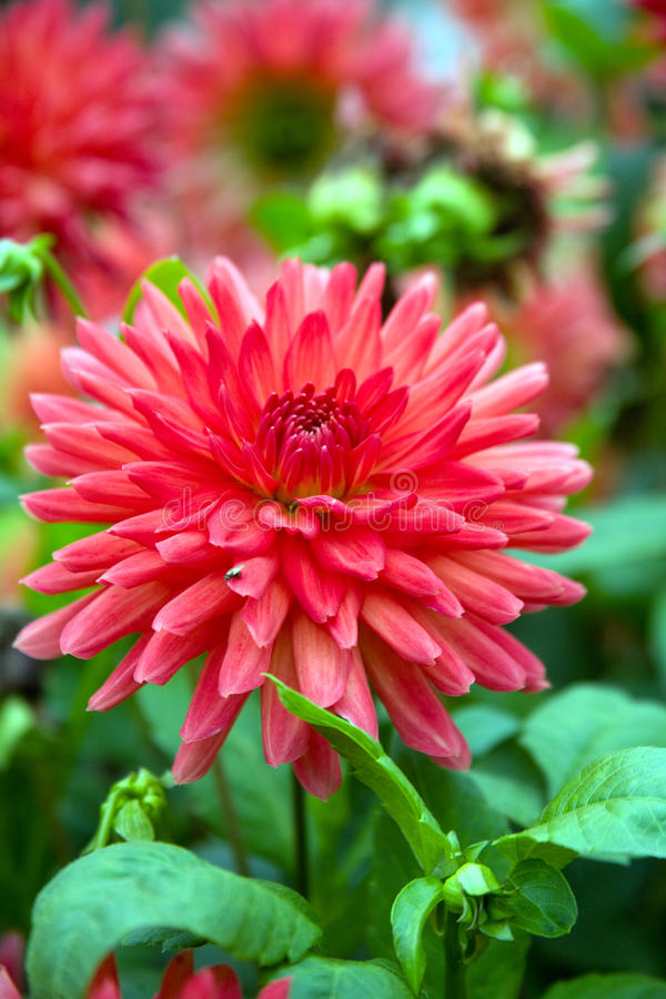Free Blooming Red Dahlia Stock Photography - 18251232