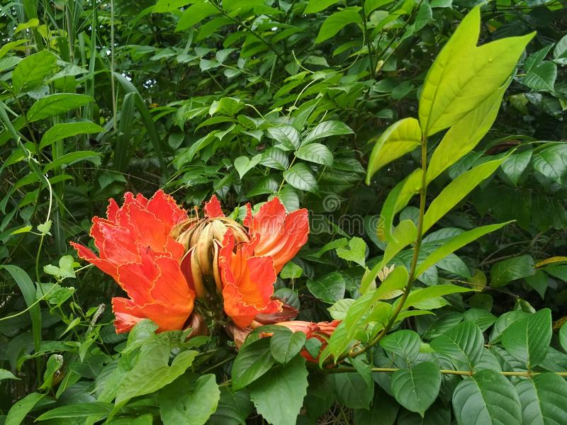 Flower of African tulip tree royalty free stock photography