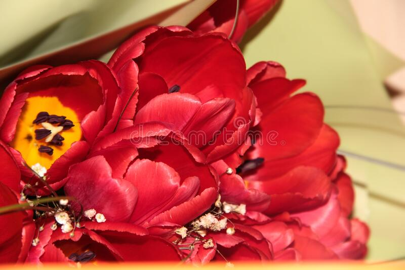 A blooming red flower. Bouquet of tulips in light green packaging.  royalty free stock image