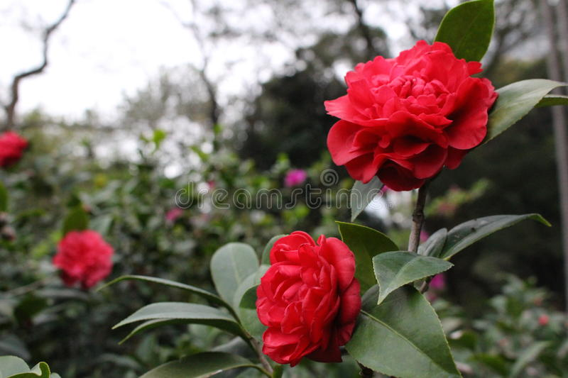 Blooming Red Flowers stock photos
