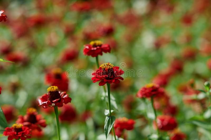 Blooming red flowers of zinnia royalty free stock photos