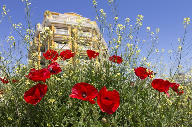 Blooming red poppies on the background of a new building stock photo