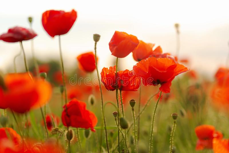 Blooming red poppies in the field. Red buds of blooming poppies in a field in the evening warm sunlight, wallpaper, scene, leaf, idyllic, sunrise, day stock photography
