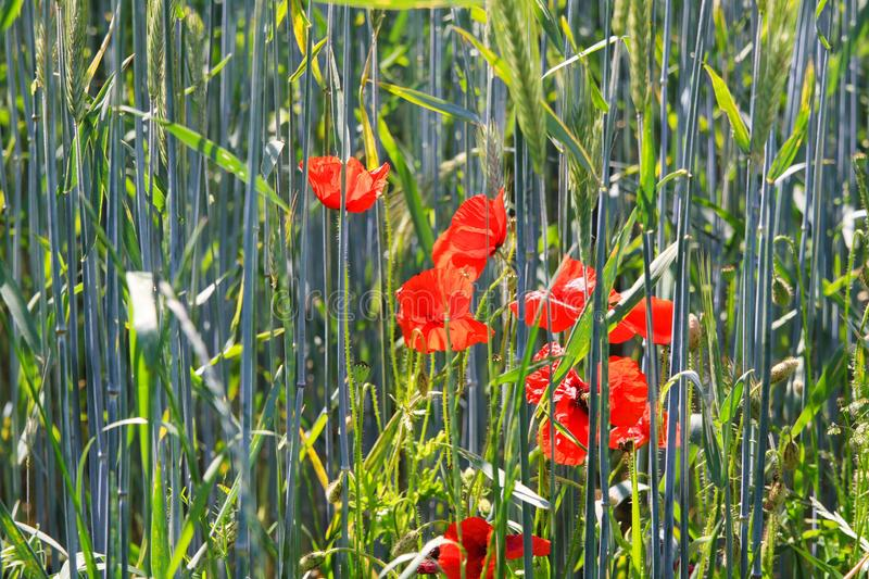 Blooming red poppies flowers Papaver rhoeas in wheat field in bright summer sunlight - Germany royalty free stock photos