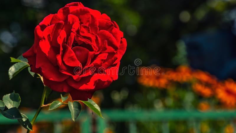 Blooming red rose outside stock images