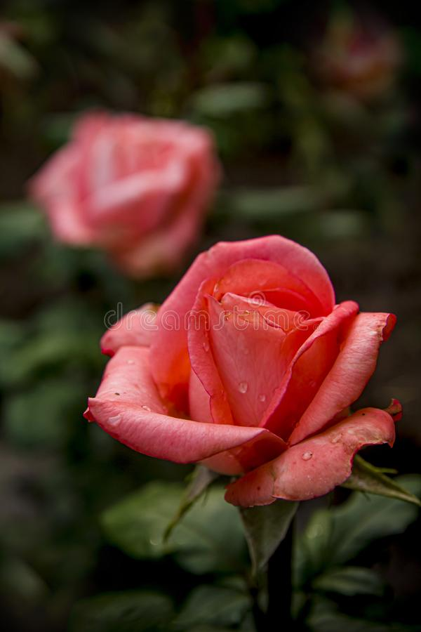 Blooming red roses with raindrops on the petals of buds royalty free stock photo