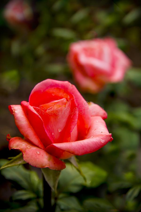 Blooming red roses with raindrops on the petals of buds stock image
