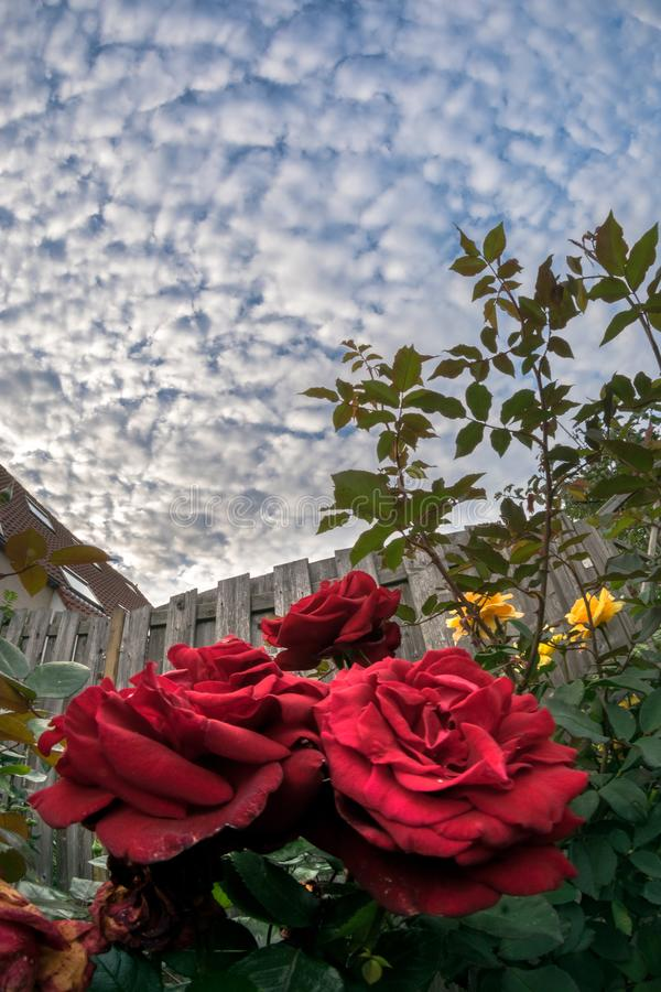 Blooming red roses with a sky full of altocumulus sheep clouds stock images