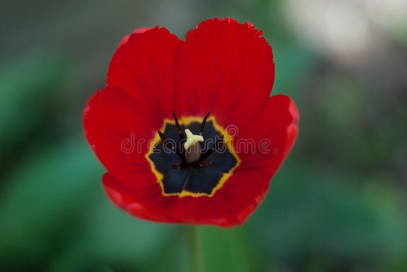 Red Tulip Flower Blooming In Garden stock photo
