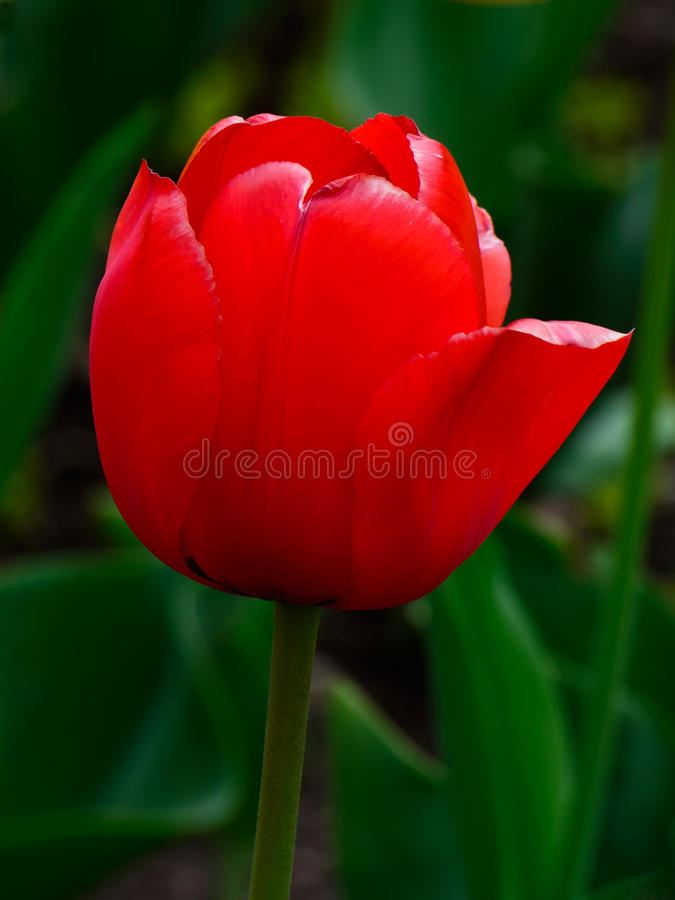 A red tulip royalty free stock photo