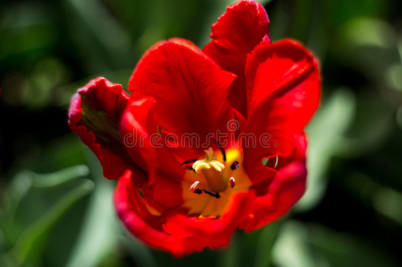 The blooming red tulip in the spring stock photo