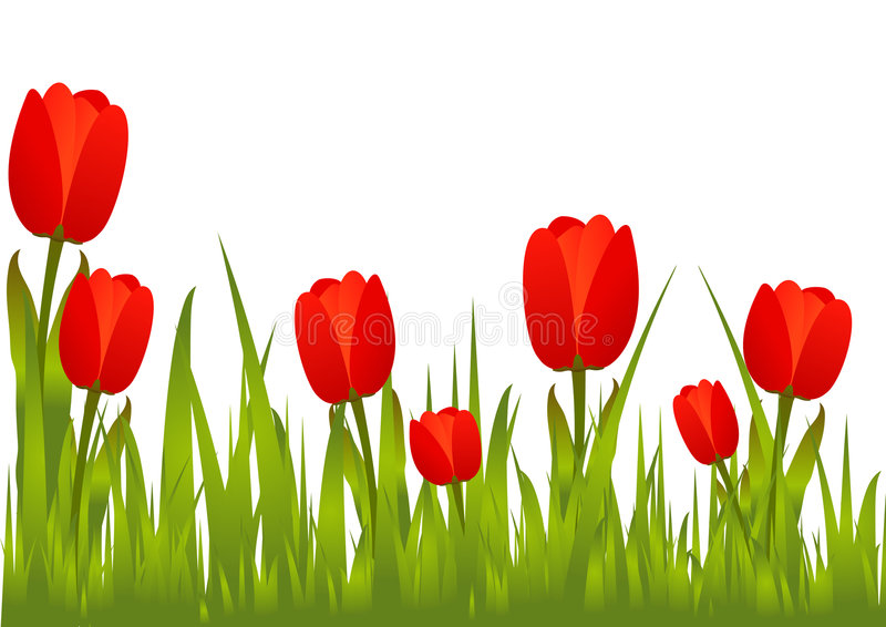 Blooming Red Tulips royalty free stock image