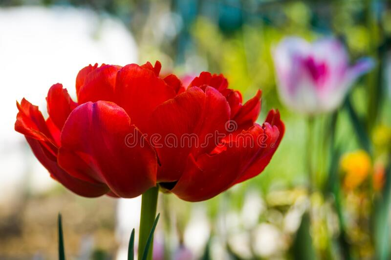 Blooming red tulips royalty free stock photography